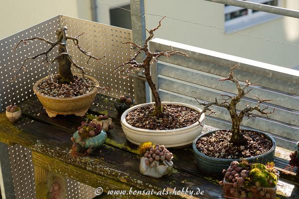 Bonsai im März auf dem Balkon