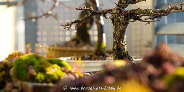 Bonsai Impressionen im März