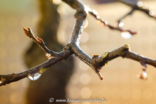 Wassertropfen vom Gießen an Carpinus orientalis
