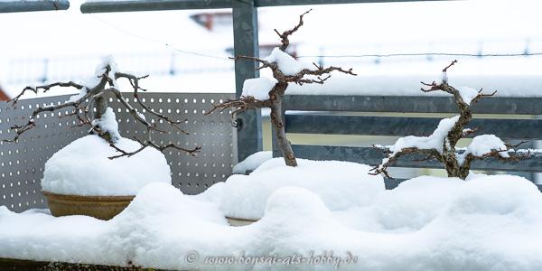 Bonsai im Schnee (März 2018)