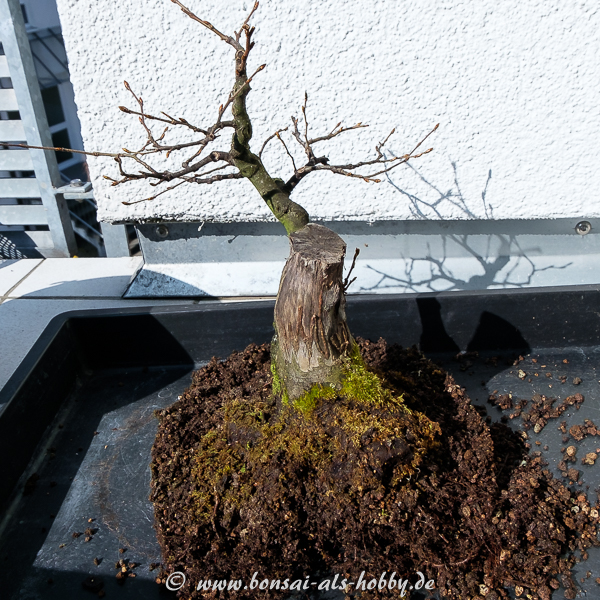 Carpinus betulus - Hainbuche ausgetopft