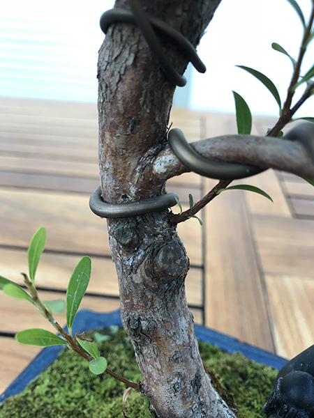 Drahtung am Bonsai