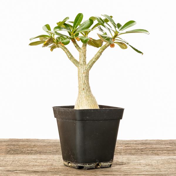 Wüstenrose Adenium #2