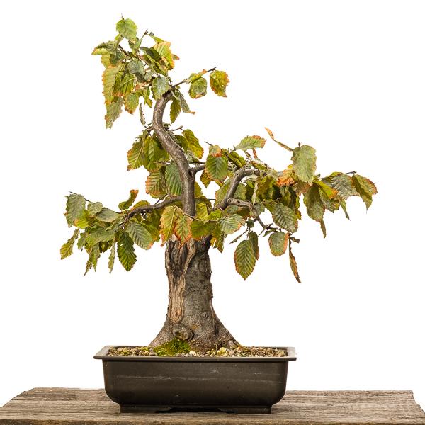 Hainbuche (Carpinus betulus) - 2018 andere Seite