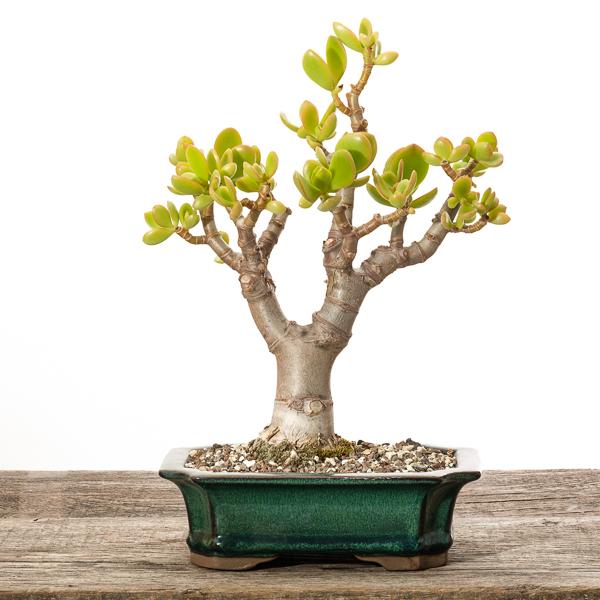 Crassula ovata - Pfennigbaum #1 - 2018