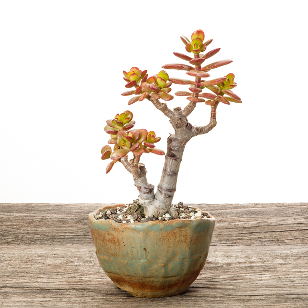Crassula ovata var. minor #1 - 2018