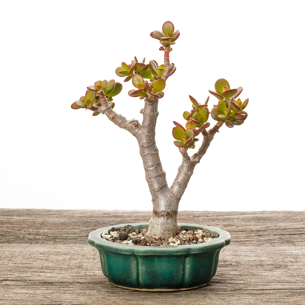 Crassula ovata var. minor #2 - 2018