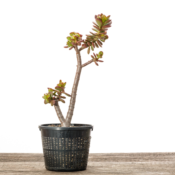 Crassula ovata var. minor #3 - 2018