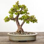 Jadebaum (Portulacaria afra) - 2018
