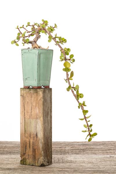Jadebaum (Portulacaria afra) #2 - 2018
