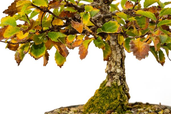 Ulme Herbstfärbung Bonsai Baum