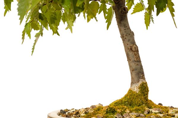 Zelkove Bonsai Baum mit Moos Nahaufnahme