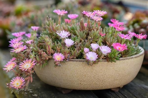 Delosperma Hybride Karen mit Blüten