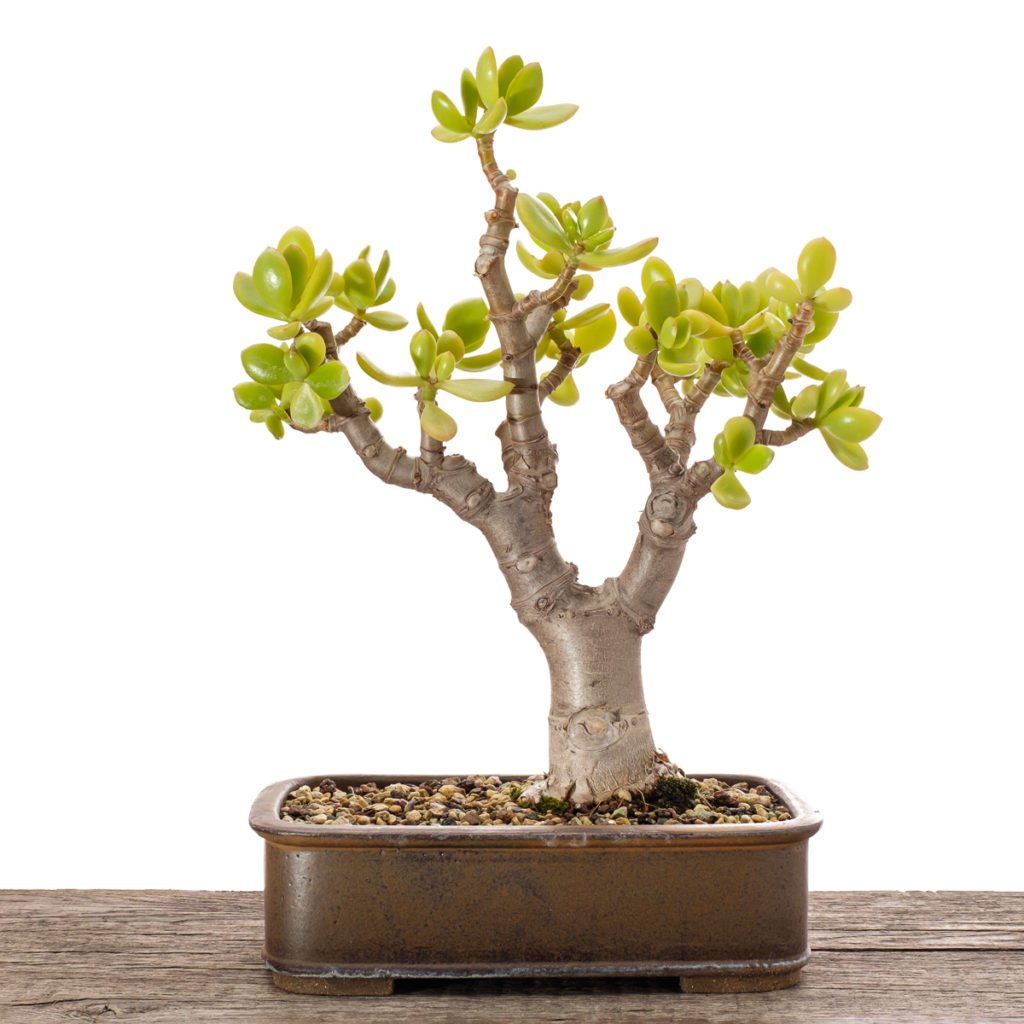 Crassula ovata Bonsai 2019