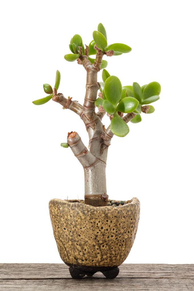 Crassula ovata Bonsai Steckling #1