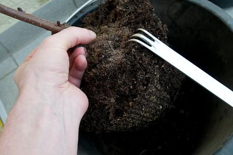 Wurzelballen Schwarzerle