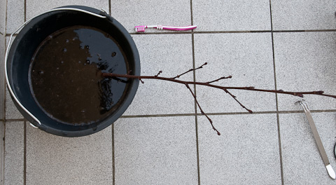 Schwarzerle im Wasserbad