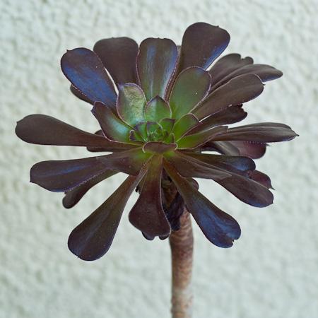 Aeonium arboreium rubrotinctum