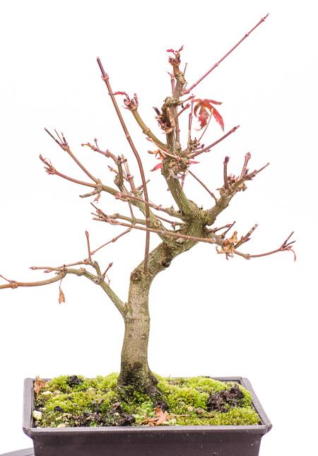 Acer palmatum Ende 2012