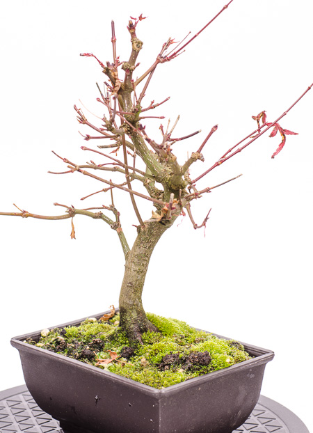 Acer palmatum Ende 2012 Teil 2