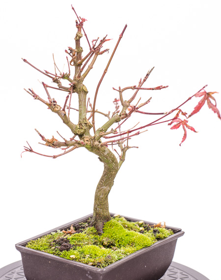 Acer palmatum Ende 2012 Teil 4