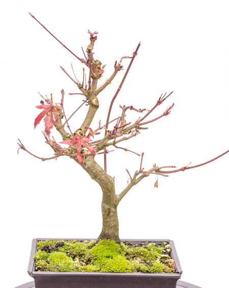 Acer palmatum Ende 2012 Teil 5