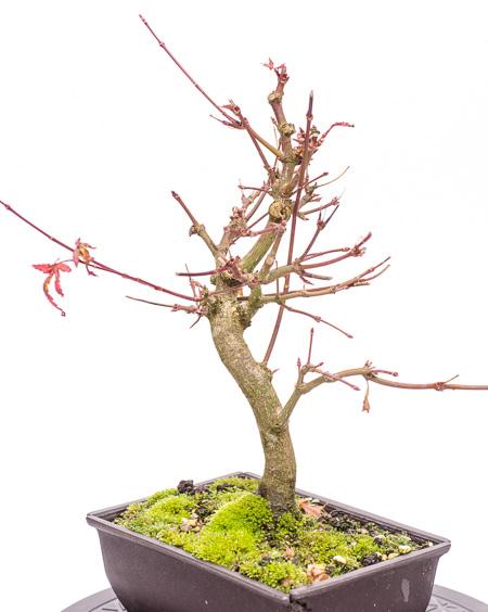 Acer palmatum Ende 2012 Teil 6