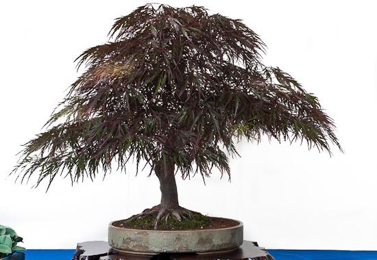 Bonsai Acer palmatum dissectum atropurpureum