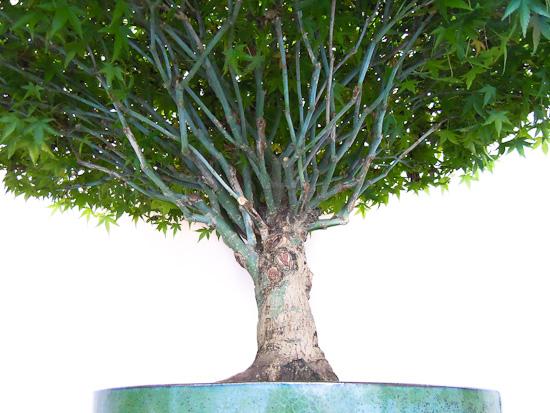 Bonsai Acer palmatum Kiyohime von unten