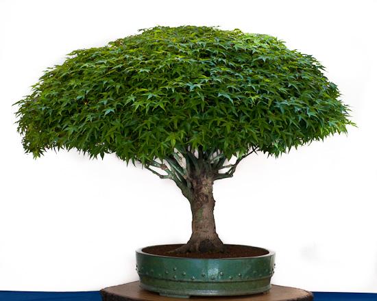 Bonsai Acer palmatum Kiyohime