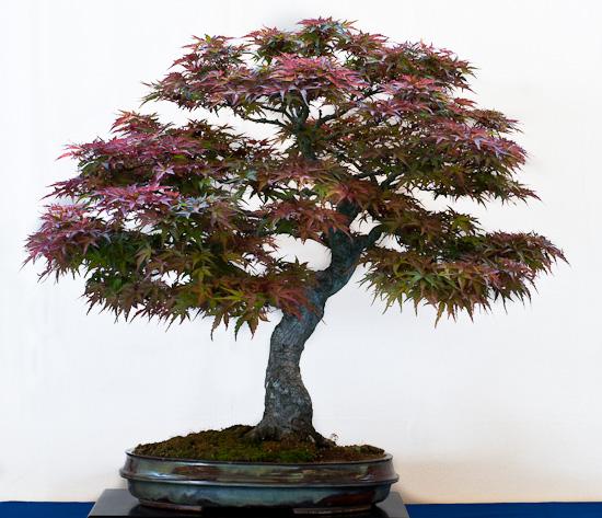 Bonsai Acer palmatum Seigen