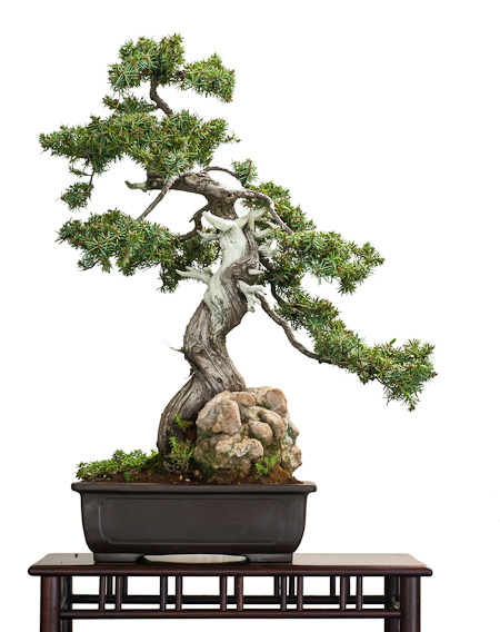 Juniperus rigida als Bonsai