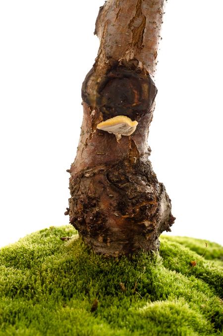 Schwarzerle mit Baumpilz 2013 Hochformat