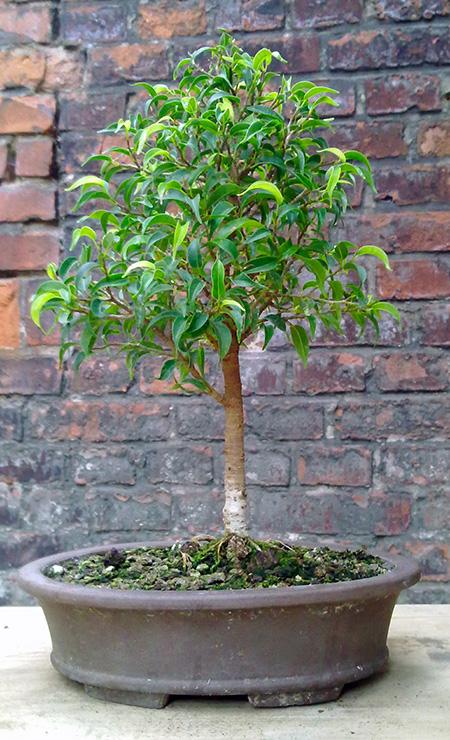Ficus benjamini pandora als Bonsai