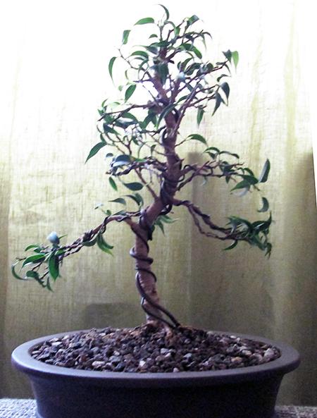 Ficus benjamini pandora gedrahtet