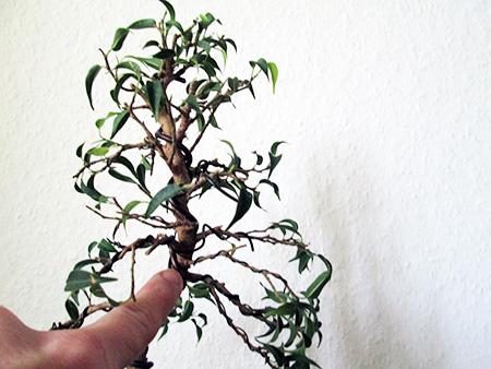 Ficus benjamini pandora #4