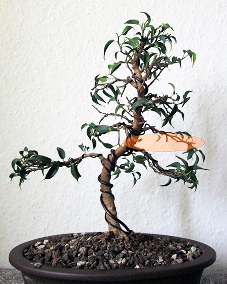 Ficus benjamini pandora #5