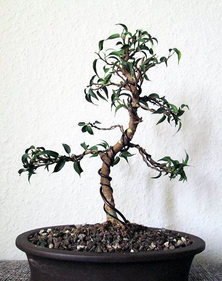 Ficus benjamini pandora Grundgestaltung