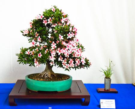 Bonsai und Beisteller