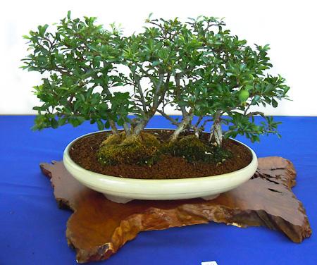 Chaenomeles speciosa als Bonsai