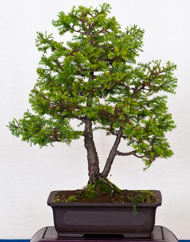 Prächtig Chamaecyparis obtusa – Muschel-Zypresse als Bonsai &CQ_51