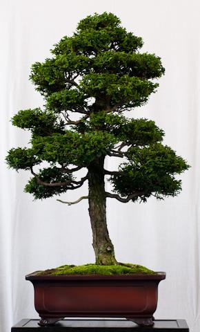 Fabelhaft Chamaecyparis obtusa – Muschel-Zypresse als Bonsai @DZ_48