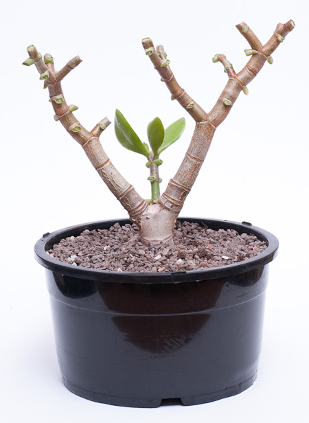Pfennigbaum nach dem Rückschnitt und Umtopfen