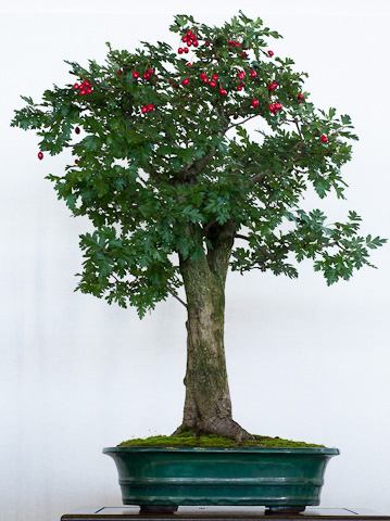 Crataegus als Bonsai