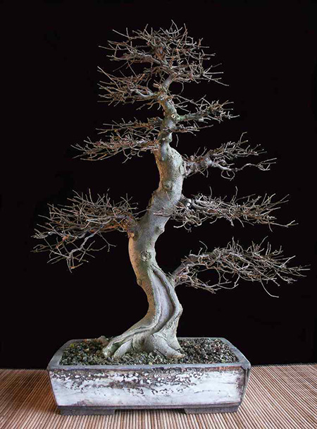 Zürgelbaum