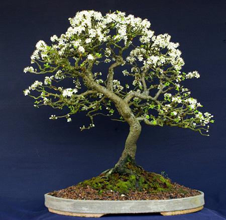 Prunus spinosa 2009