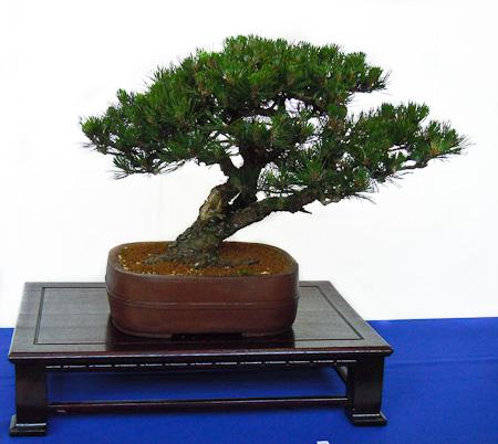 Pinus mugo uncinata als Bonsai