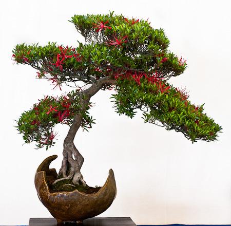 Rhododendron kinsai