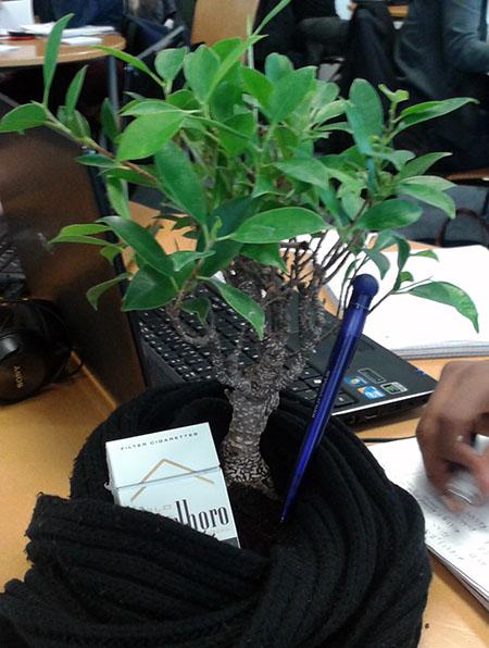 Ficus-Bonsai im Schal
