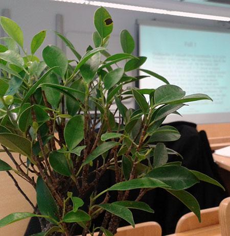Blätter Ficus-Bonsai